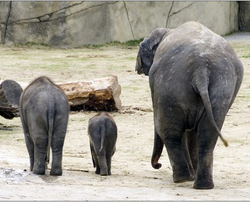 elefanten_4324, elefanten, zoo, köln