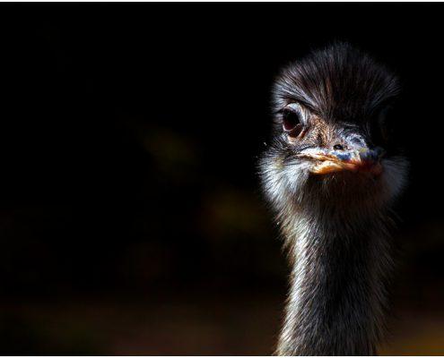 emu_8442, emu, portraits