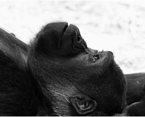 gorilla_1325, gorilla, zoo