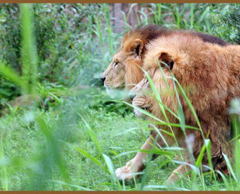 lions, löwe