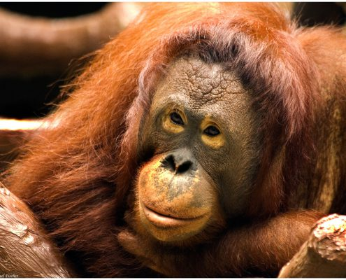 orangutan_1565, affe, orang utan