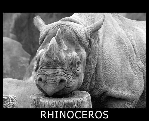 rhinoceros_4139, nashorn, rhino