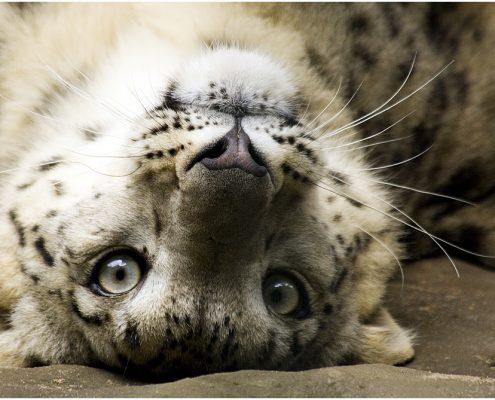 schneeleopard_1420, katze, zoo, schneeleopard